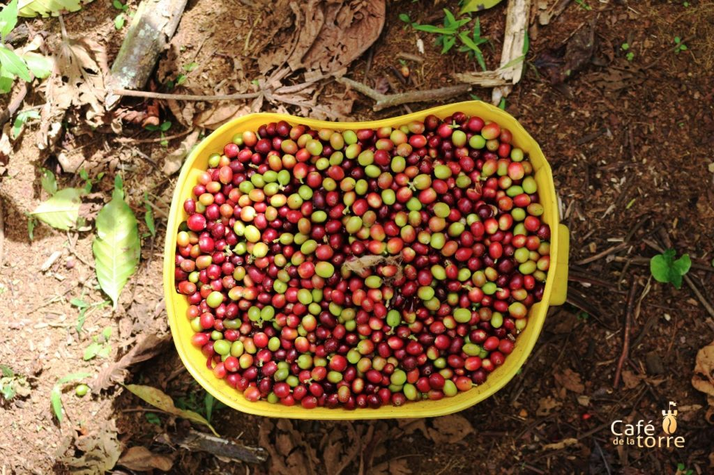Only the perfect coffee beans are picked