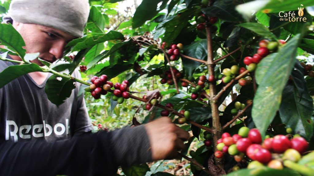Coffee beans being picked by hand